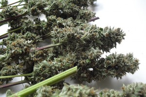 growing-harvested-dried-marijuana-buds