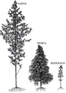 indica-sativa-marijuana-plants-pic