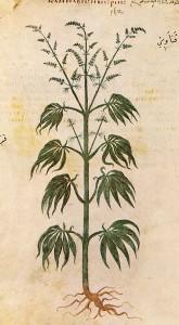 old-drawing-cannabis-marjijuana-512-ad