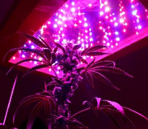 growing-mariuana-led-lights