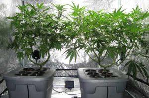 hydroponic-marijuana-growing